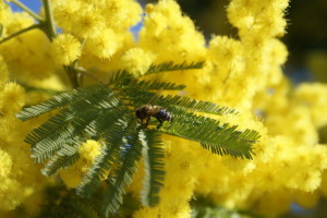 Mimosa_Close_up_by_rudemnky