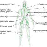 Quando si gonfiano i linfonodi?