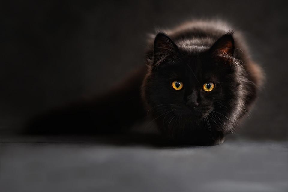 quando vanno in calore i gatti?