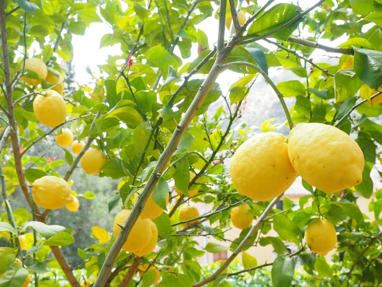 Quando potare il limone