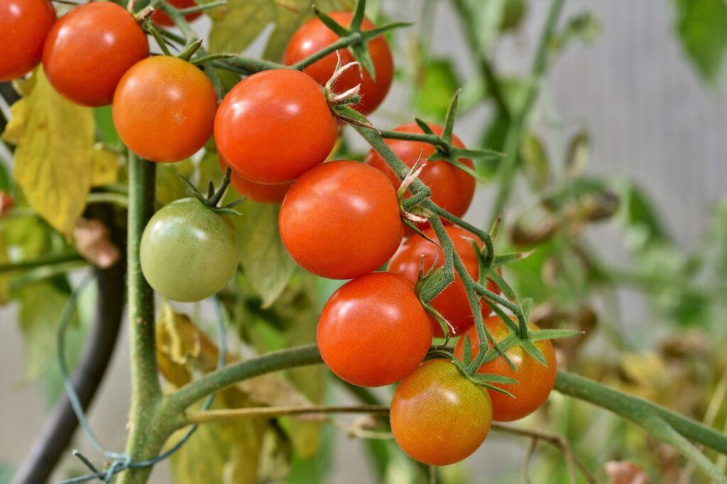 Quando dare il verderame ai pomodori